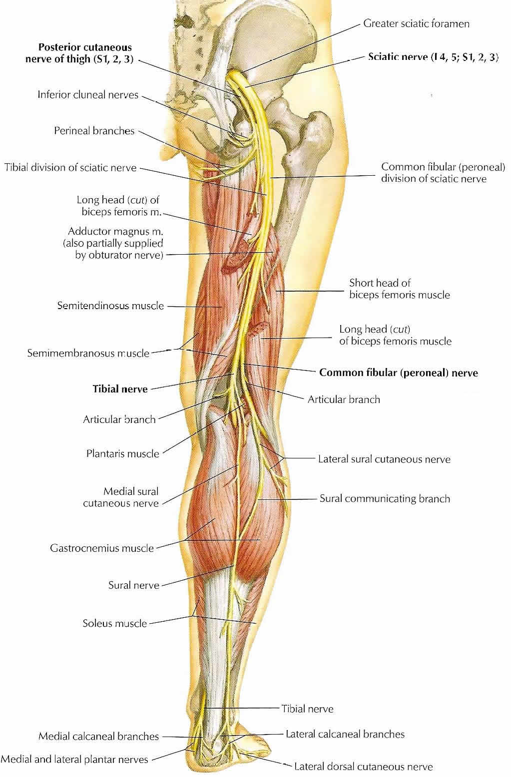 sciatic pain, Human Body